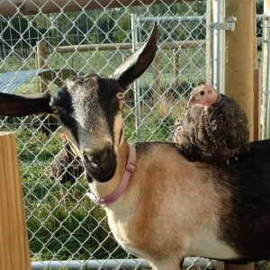 Goat with turkey on its back.