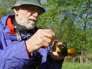 Dr Dave Miller extracts a Baltimore Oriole