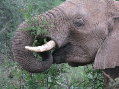 Kenyan elephant eating