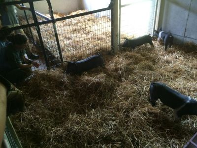 Pigs arrived