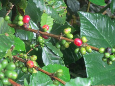 Coffee beans are beginning to ripen