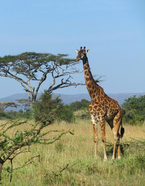 Giraffes and other wildlife become a part of the classroom while you travel abroad.